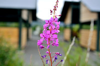 Fireweed.  It blooms and sets seed from the bottom up. When the flower has bloomed all the way, the season is ending.