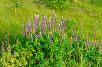 These blue lupines (that's bluebonnets to Texans) grew over 3 feet tall. I know they grow things big in Texas, but Alaska has us beat!